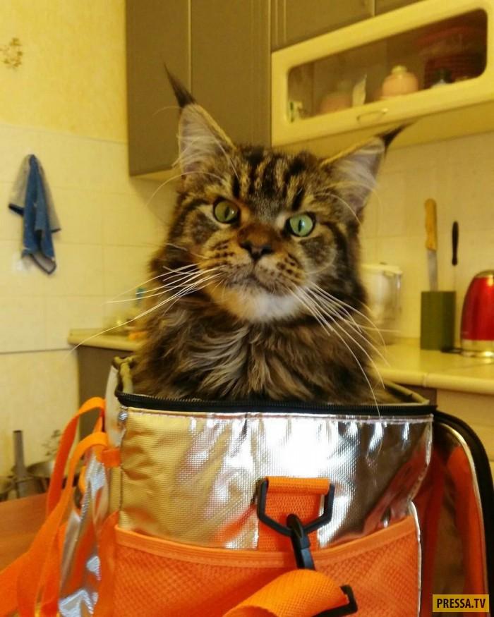 фото приколы кошки вальяжные