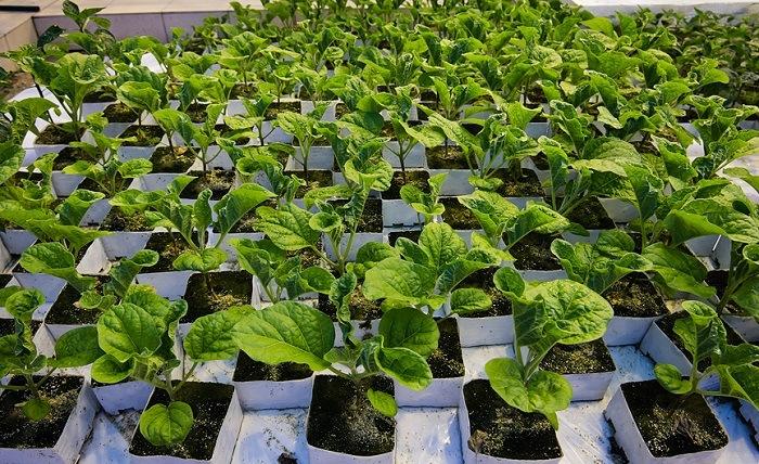 Проблемы с листьями у баклажан в теплице: причины и лечение