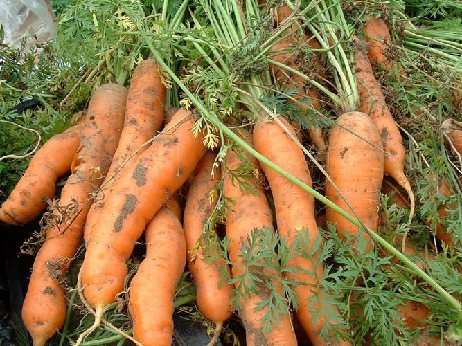 Когда сажать морковь на зиму на кубани 29